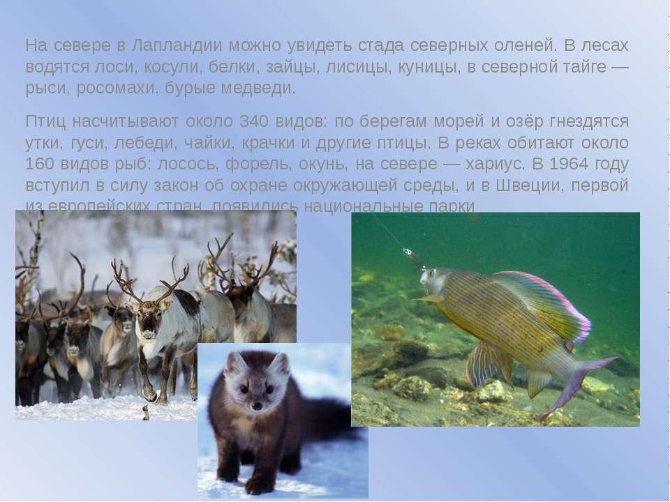 На севере в Лапландии можно увидеть стада северных оленей. В лесах водятся ло...
