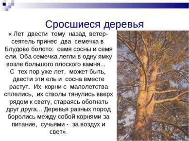 Сросшиеся деревья « Лет двести тому назад ветер-сеятель принес два семечка в ...
