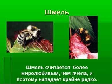 Шмель Шмель считается более миролюбивым, чем пчёла, и поэтому нападает крайне...