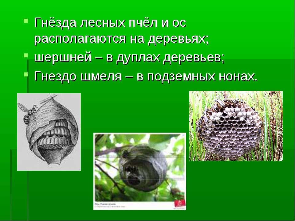 Гнёзда лесных пчёл и ос располагаются на деревьях; шершней – в дуплах деревье...