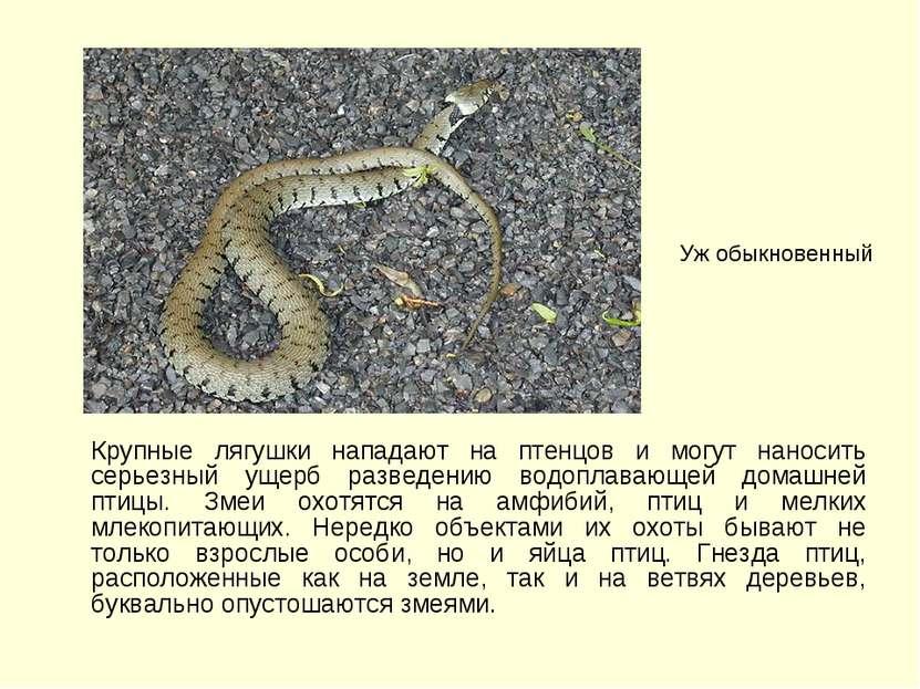 Крупные лягушки нападают на птенцов и могут наносить серьезный ущерб разведен...