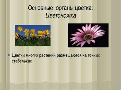 Основные органы цветка: Цветоножка Цветки многиx растений размещаются на тонк...