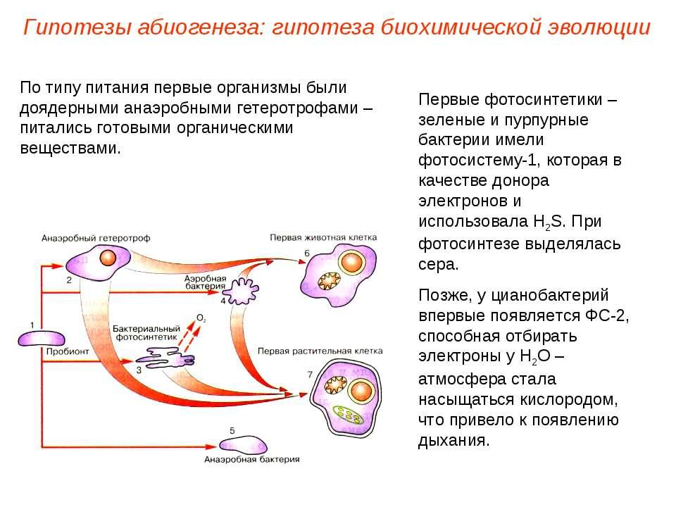 Первые фотосинтетики – зеленые и пурпурные бактерии имели фотосистему-1, кото...