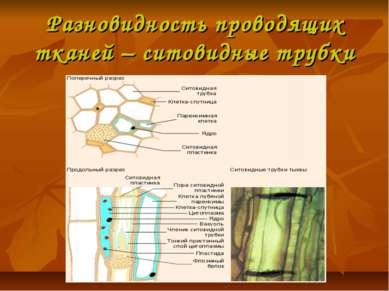 Разновидность проводящих тканей – ситовидные трубки