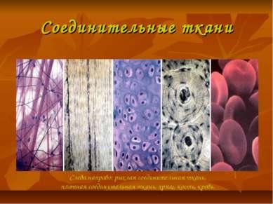 Соединительные ткани Слева направо: рыхлая соединительная ткань, плотная соед...