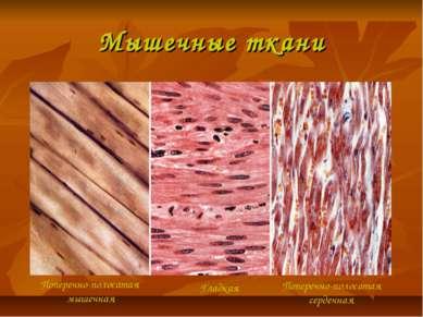 Мышечные ткани Поперечно-полосатая мышечная Гладкая Поперечно-полосатая серде...