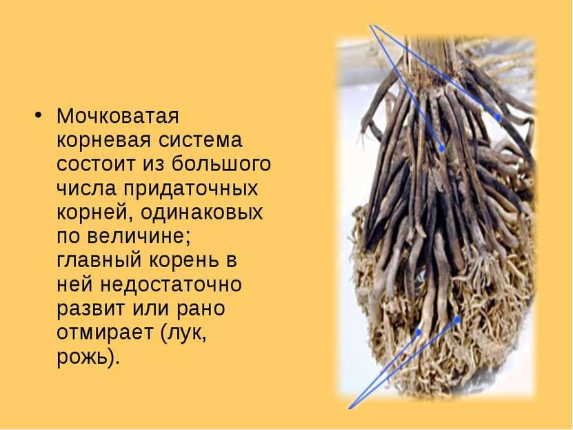Мочковатая корневая система состоит из большого числа придаточных корней, оди...