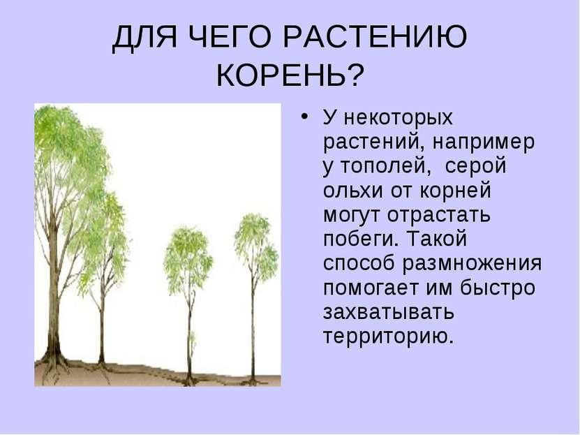 ДЛЯ ЧЕГО РАСТЕНИЮ КОРЕНЬ? У некоторых растений, например утополей, серой ол...