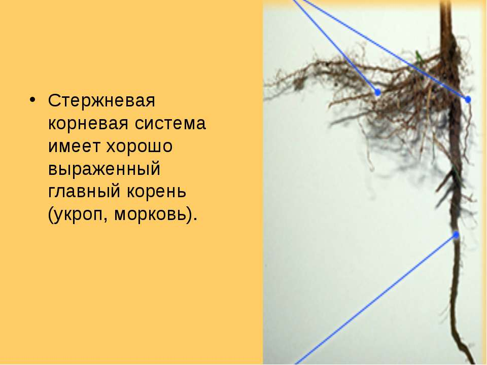 Стержневая корневая система имеет хорошо выраженный главный корень (укроп, мо...
