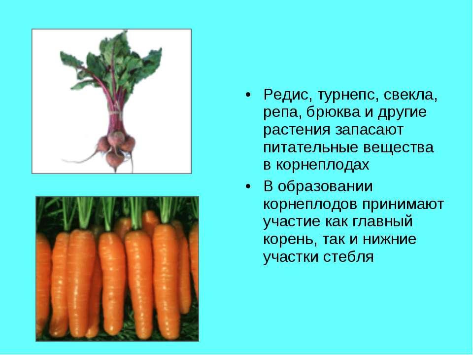 Редис, турнепс, свекла, репа, брюква и другие растения запасают питательные в...