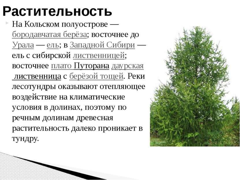 На Кольском полуострове— бородавчатая берёза; восточнее до Урала— ель; в За...