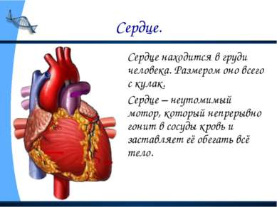 Сердце. Сердце находится в груди человека. Размером оно всего с кулак. Сердце...