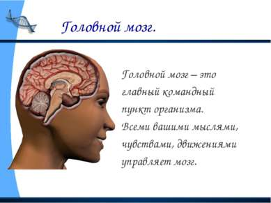Головной мозг. Головной мозг – это главный командный пункт организма. Всеми в...