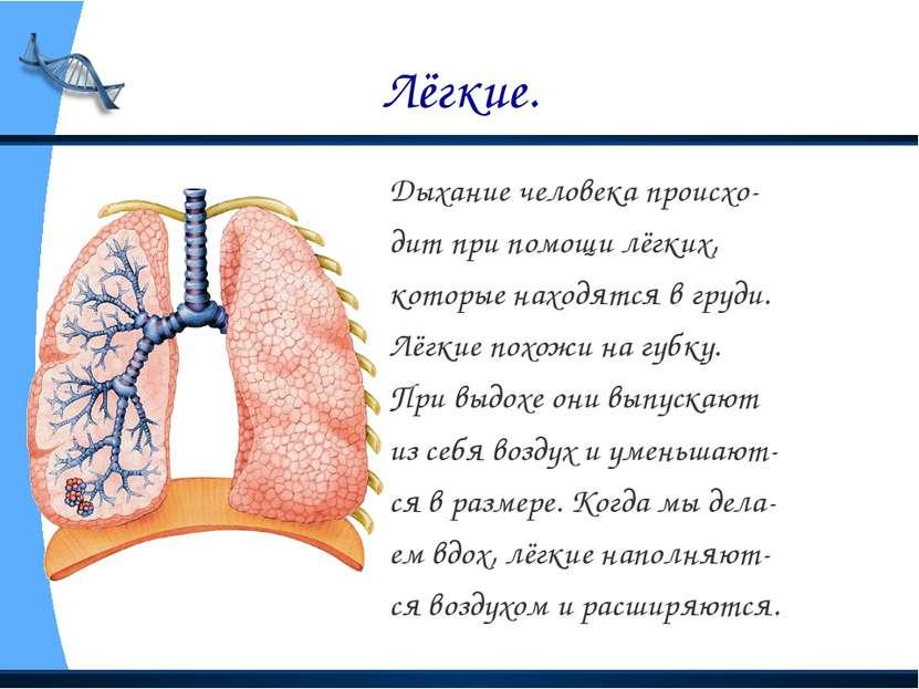 Лёгкие. Дыхание человека происхо- дит при помощи лёгких, которые находятся в ...