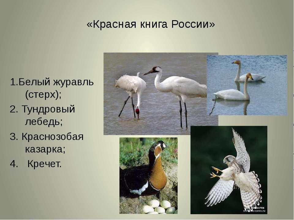 «Красная книга России» 1.Белый журавль (стерх); 2. Тундровый лебедь; 3. Красн...