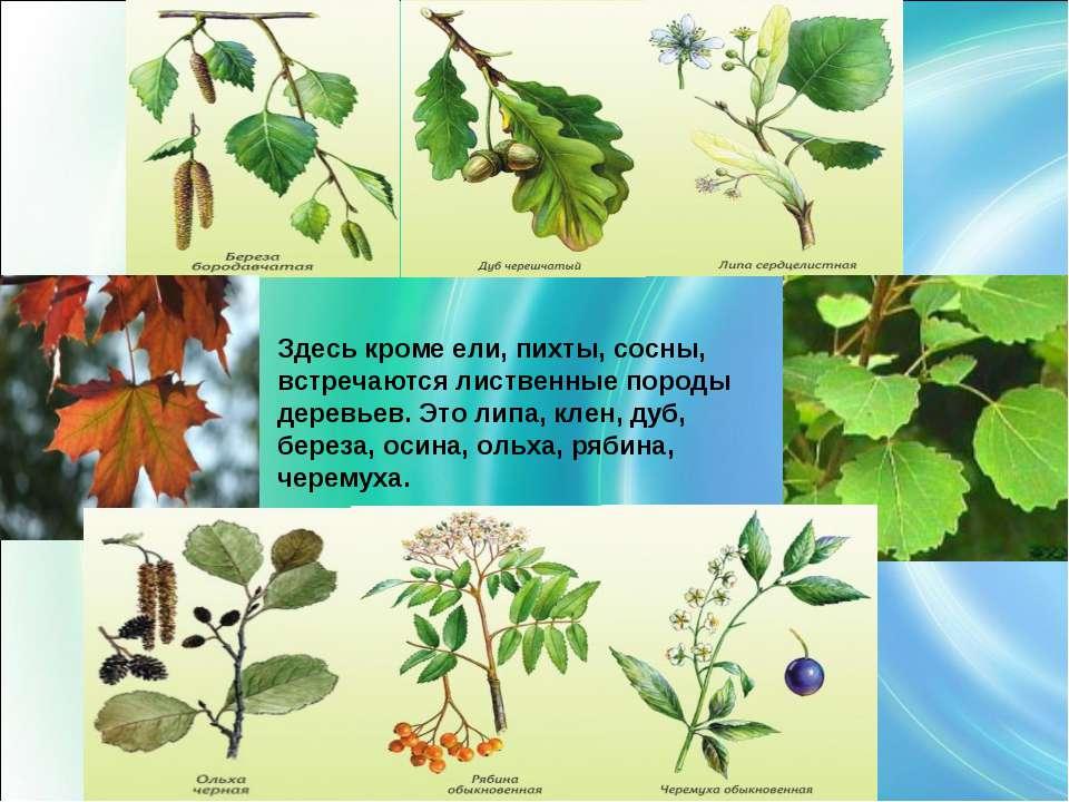 Здесь кроме ели, пихты, сосны, встречаются лиственные породы деревьев. Это ли...