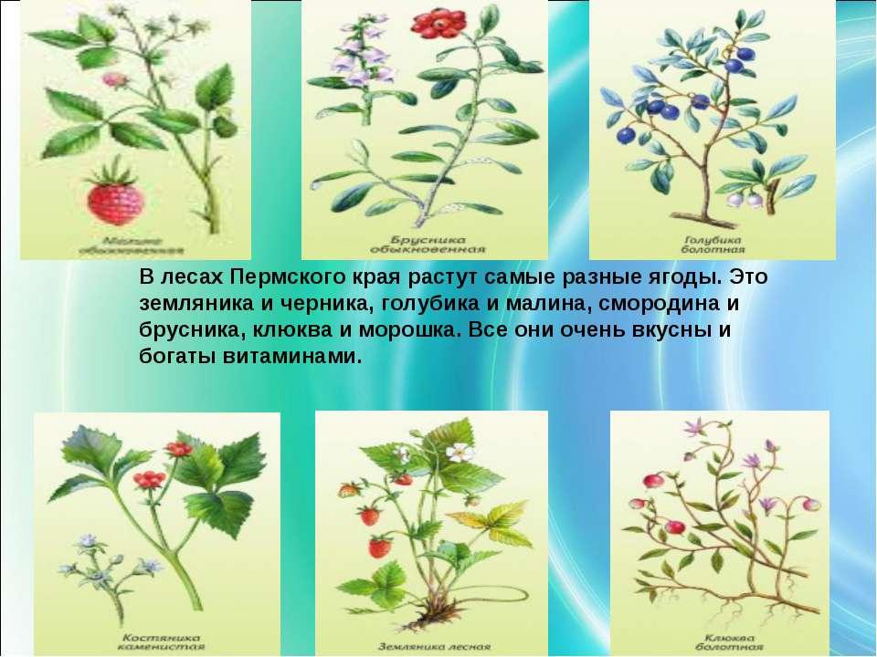 В лесах Пермского края растут самые разные ягоды. Это земляника и черника, го...