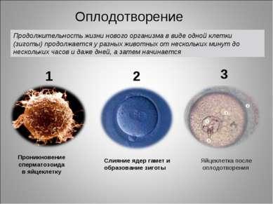 Проникновение сперматозоида в яйцеклетку Слияние ядер гамет и образование зиг...