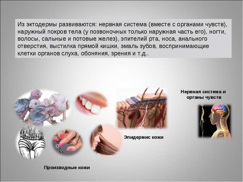 Нервная система и органы чувств Эпидермис кожи Производные кожи Из эктодермы ...