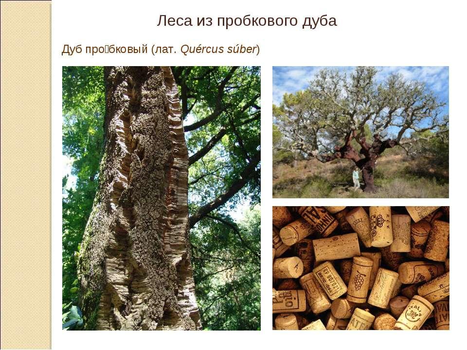 Леса из пробкового дуба Дуб про бковый(лат.Quércus súber)