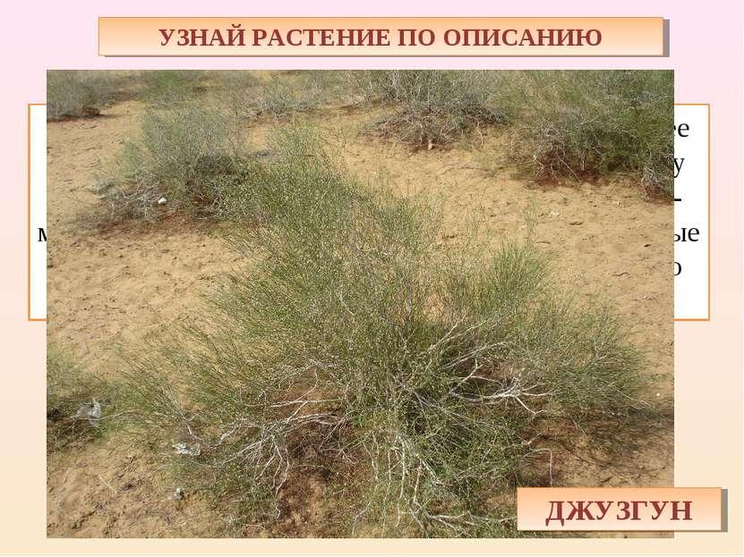 УЗНАЙ РАСТЕНИЕ ПО ОПИСАНИЮ Кустарник состоит только из одних ветвей — более т...