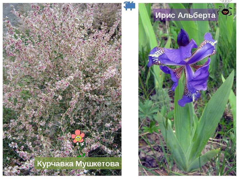 Курчавка Мушкетова Ирис Альберта Эндемики Казахстана