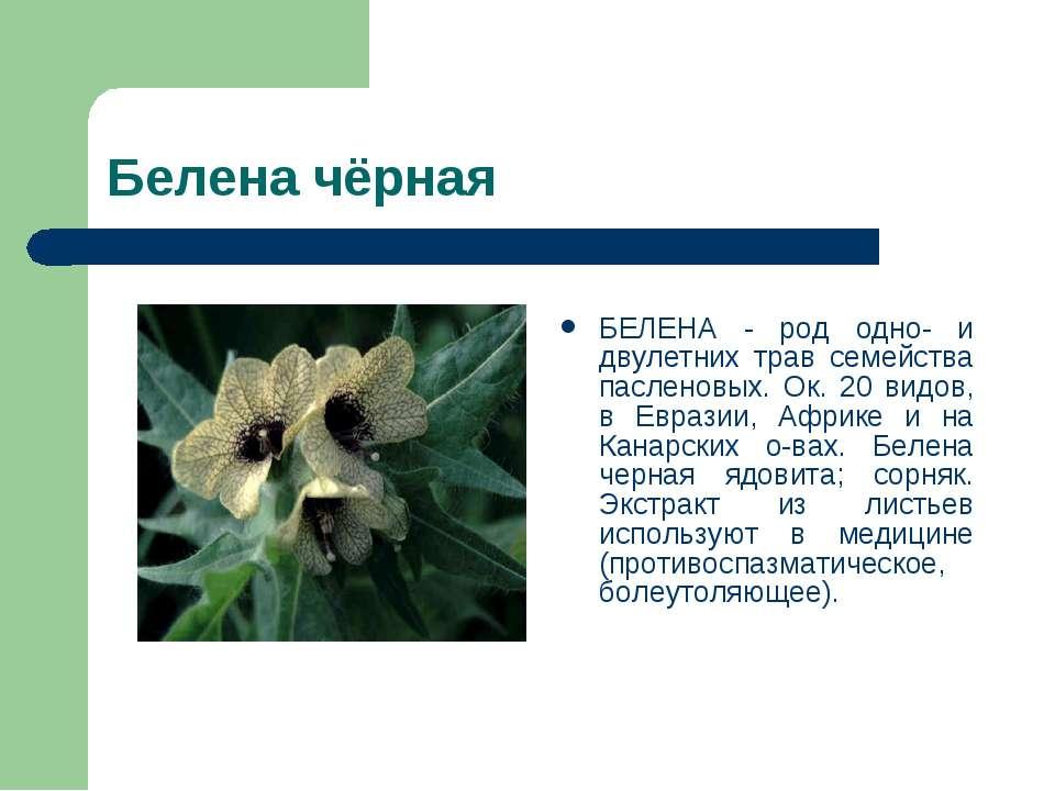Белена чёрная БЕЛЕНА - род одно- и двулетних трав семейства пасленовых. Ок. 2...