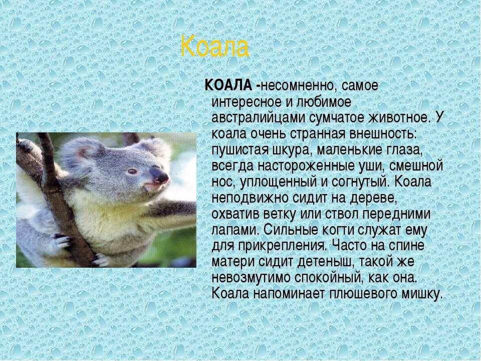 КОАЛА -несомненно, самое интересное и любимое австралийцами сумчатое животное...