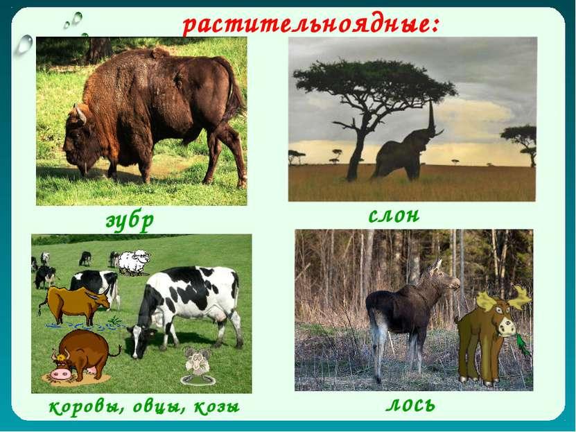 растительноядные: зубр лось коровы, овцы, козы слон