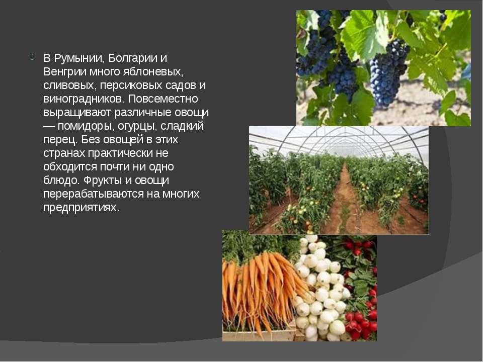 В Румынии, Болгарии и Венгрии много яблоневых, сливовых, персиковых садов и в...