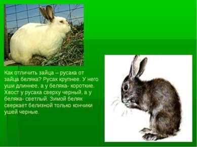 Как отличить зайца – русака от зайца беляка? Русак крупнее. У него уши длинне...