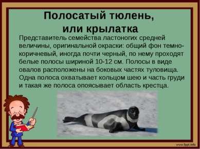 Полосатый тюлень, или крылатка Представитель семейства ластоногих средней вел...