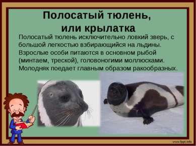 Полосатый тюлень, или крылатка Полосатый тюлень исключительно ловкий зверь, с...