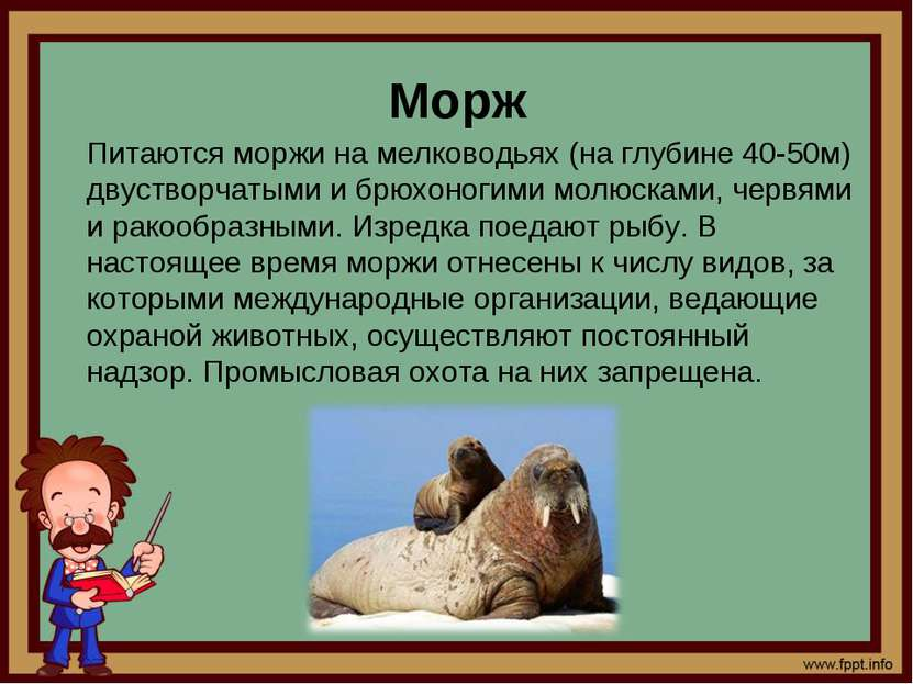 Морж Питаются моржи на мелководьях (на глубине 40-50м) двустворчатыми и брюхо...
