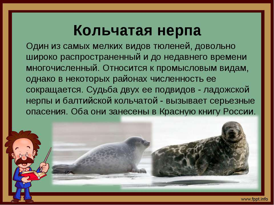 Кольчатая нерпа Один из самых мелких видов тюленей, довольно широко распростр...