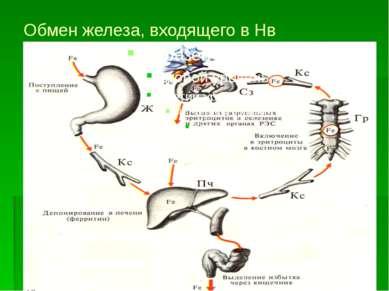 Обмен железа, входящего в Нв
