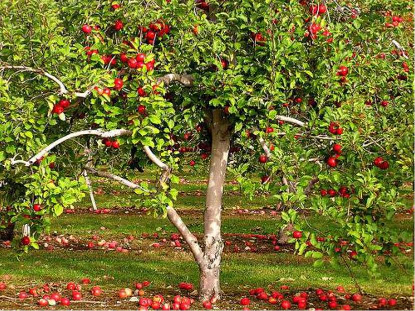 В умеренном климате этот представитель семейства розовых - самое главное плод...