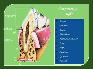 Строение зуба Эмаль Дентин Десна Периодонт Костная альвеола Вена Нерв Артерия...