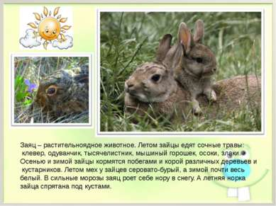 Заяц – растительноядное животное. Летом зайцы едят сочные травы: клевер, одув...