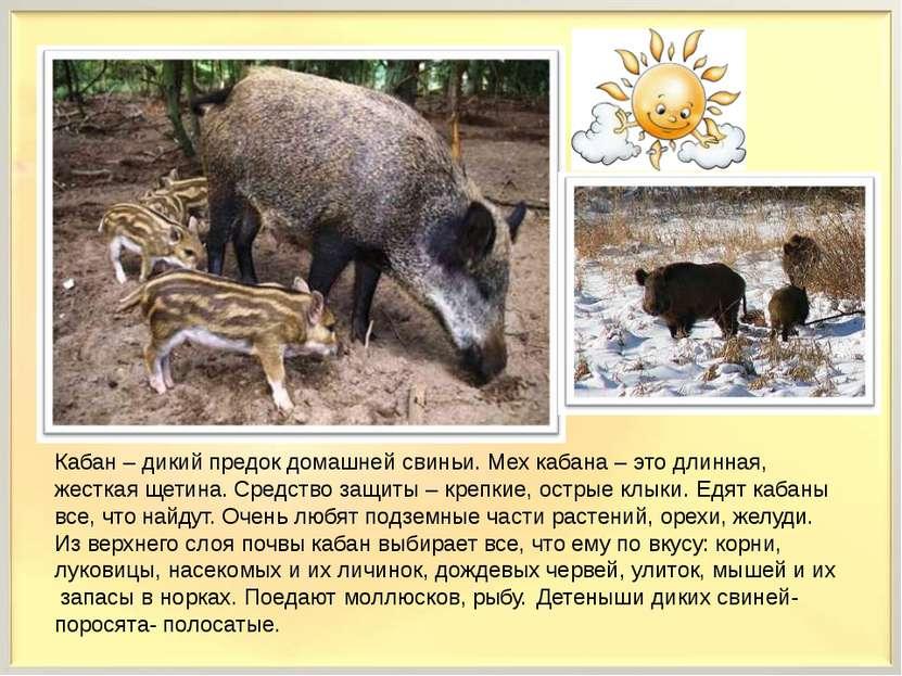 Кабан – дикий предок домашней свиньи. Мех кабана – это длинная, жесткая щетин...