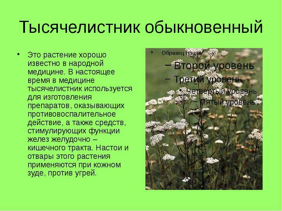 Тысячелистник обыкновенный Это растение хорошо известно в народной медицине. ...