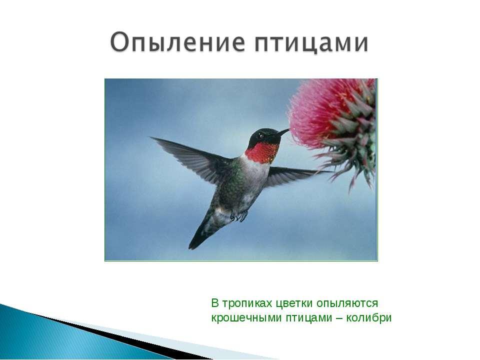 В тропиках цветки опыляются крошечными птицами – колибри