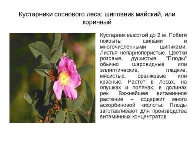 Кустарники соснового леса: шиповник майский, или коричный Кустарник высотой д...