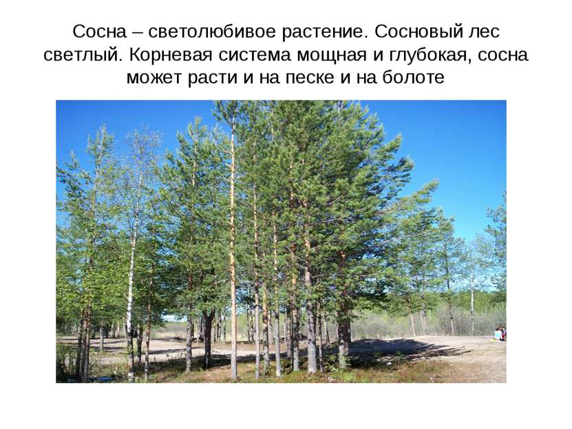 Сосна – светолюбивое растение. Сосновый лес светлый. Корневая система мощная ...