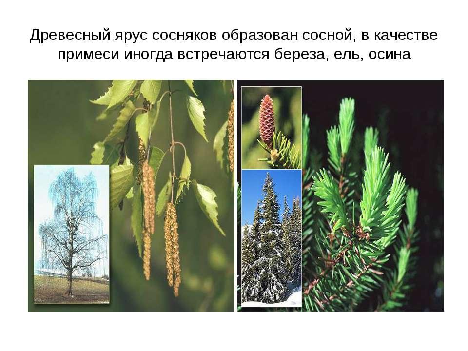 Древесный ярус сосняков образован сосной, в качестве примеси иногда встречают...
