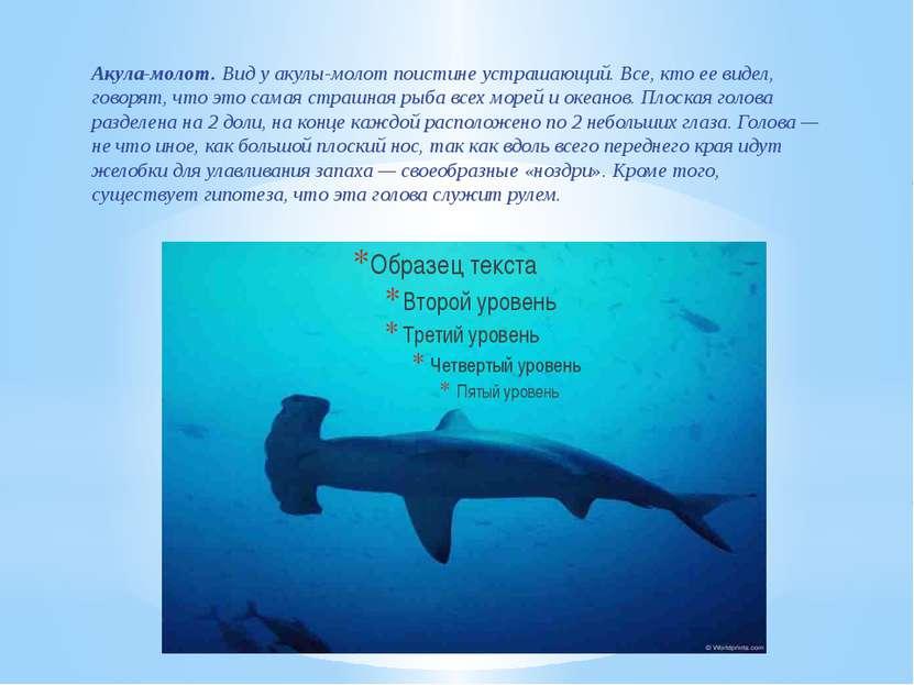 Акула-молот. Вид уакулы-молот поистине устрашающий. Все, кто еевидел, говор...