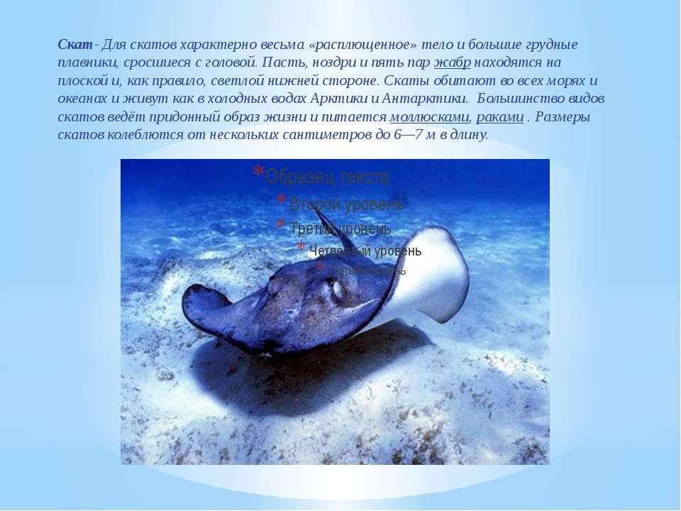 Скат- Для скатов характерно весьма «расплющенное» тело и большие грудные плав...