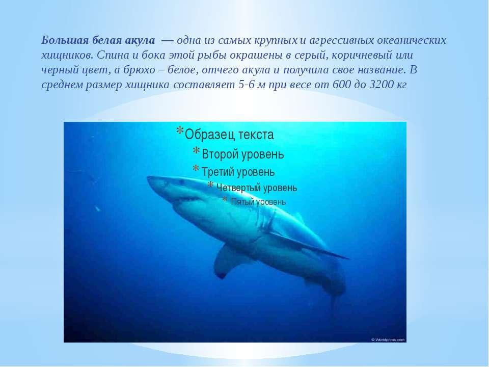Большая белая акула—одна из самых крупных и агрессивных океанических хищни...
