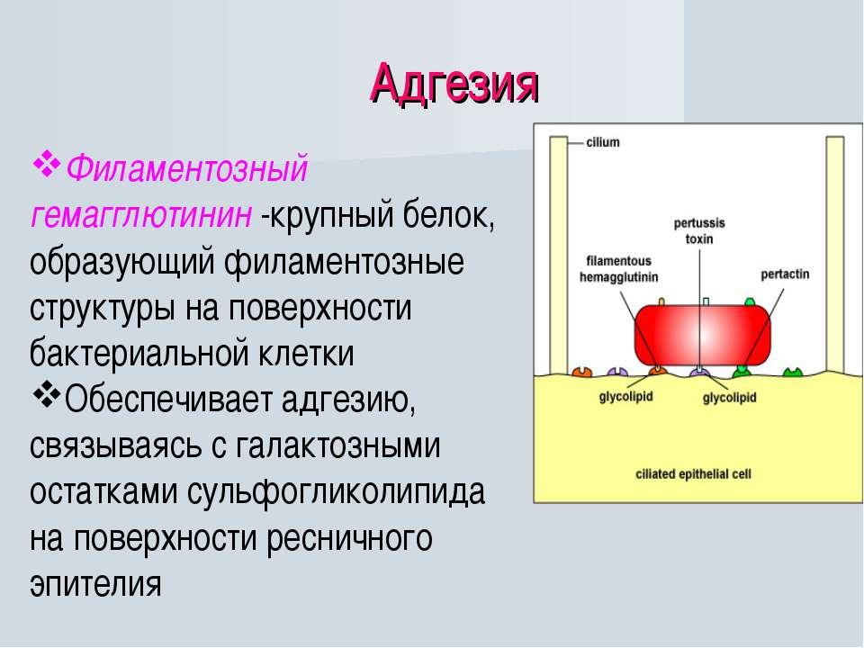 Адгезия Филаментозный гемагглютинин -крупный белок, образующий филаментозные ...