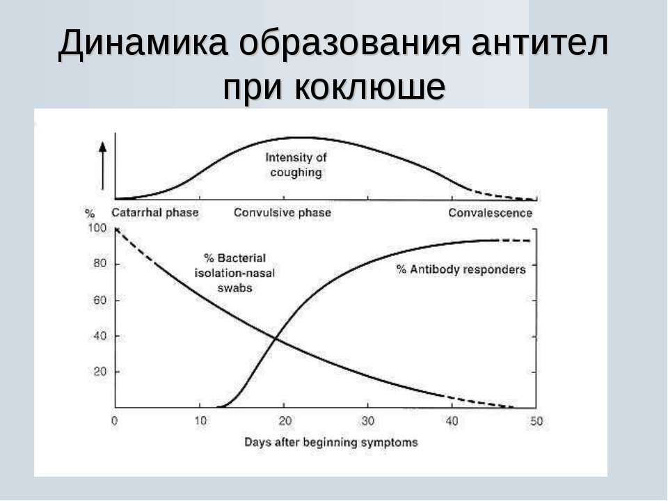 Динамика образования антител при коклюше